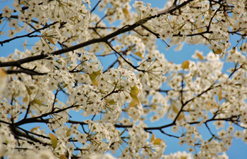 Spring_Blossoms[1]